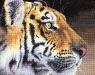 dimensions-kralovsky-tygr